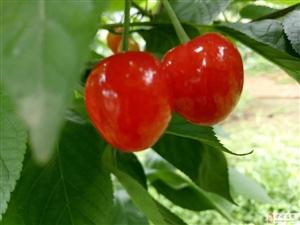 大樱桃红了,20号开吃。茶园乡等你哟!