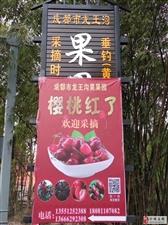 茶园乡的大樱桃熟啦,20号即将开吃!欢迎采摘!