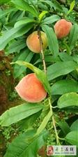 黄肉桃熟了,喜欢吃桃子抓紧,无需门票