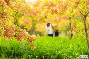 中央公园里面的文冠果花