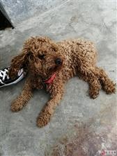 帮忙找狗主人:电视台附近捡到一只泰迪狗,看到请联系