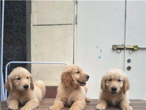 自家金毛幼犬出售