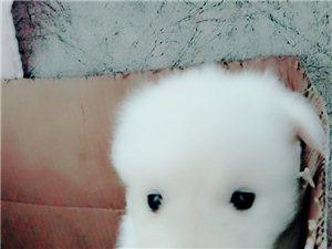 出售萨摩耶小奶狗