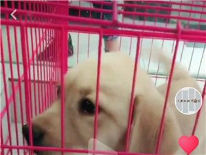 出售拉布拉多幼犬一只