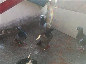 岀售信鴿及帶成績信鴿