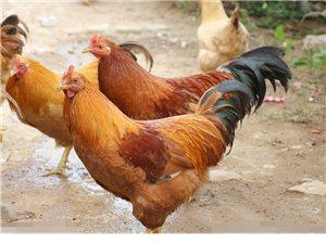 老阉鸡、公鸡、母鸡
