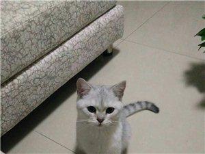 渐层小猫咪出售
