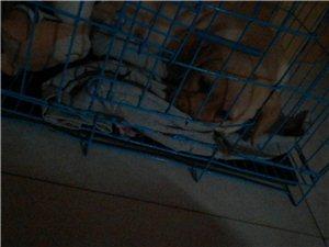 拉布拉多公幼犬