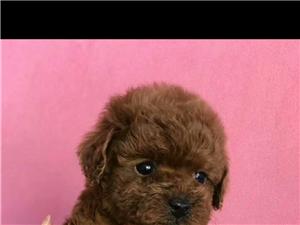 出售自家繁殖泰迪幼犬