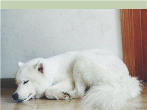寻找一只走丢的萨摩耶犬