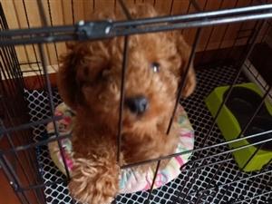 出售泰迪小狗,公狗,三个多月两针育苗
