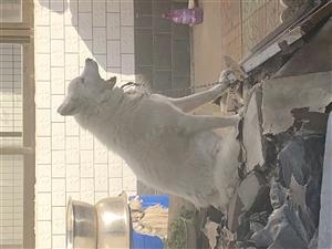 找一个萨摩耶配种犬给狗狗配种