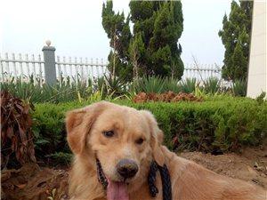 尋找金毛犬