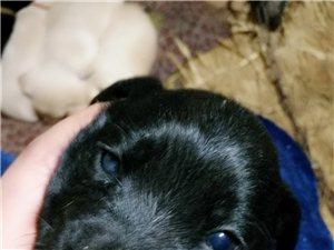 纯血统拉布拉多幼犬
