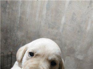 拉布拉多幼犬便便宜出售了