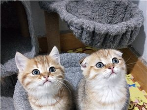 繁育各品种宠物猫