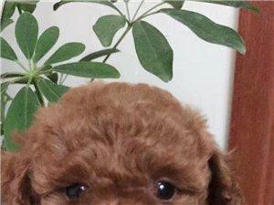 出售4只家养两月大红色母泰迪,价格美丽