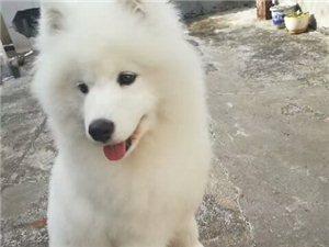 11月23日一�c�^走失一只2�q�_摩耶犬