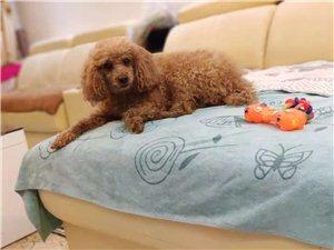 泰迪贵宾犬