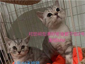 纯种3个月大美短猫咪