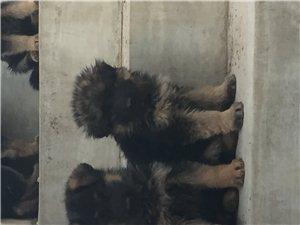 自家养的德牧马犬出售