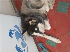 阿拉斯加犬出售