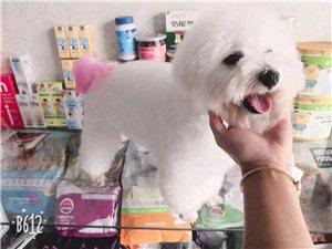 出售寵物狗狗,小體比熊