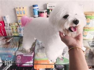 出售宠物狗狗,小体比熊