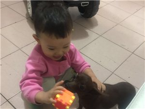因怀二胎出售爱犬小鹿犬母