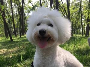 白色泰迪小狗崽出售