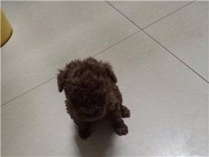 精品泰迪犬