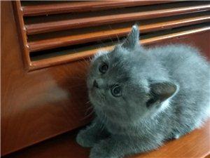 1500元,價格可議,自家生的藍貓