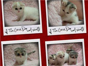 出售纯种英短小猫
