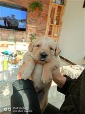 出售自养金毛幼犬