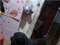 卡斯罗犬(意大利獒)