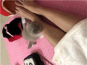 折耳猫二个月大,因为怀孕了被迫买出去