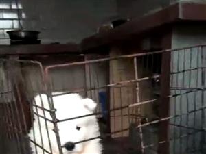 萨摩耶幼犬