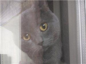 成年藍貓公貓