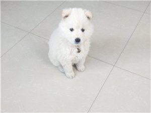 萨摩耶母犬求配种