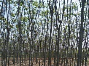 大量出售占地绿化苗木