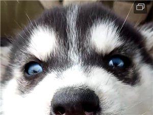 双蓝眼三把火二哈