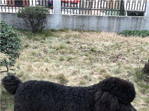 黑棕色巨型贵宾犬
