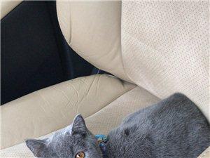 出售蓝猫一只