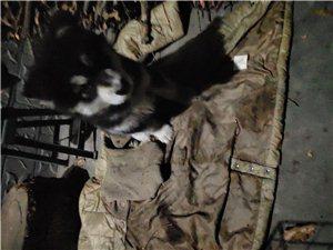 转让一只阿拉斯加幼犬三个月