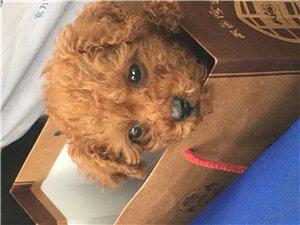 狗狗丟失2月27號下午在滑縣體育廣場附近