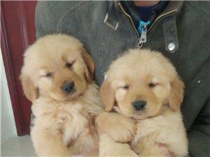 双血统金毛宝宝出售