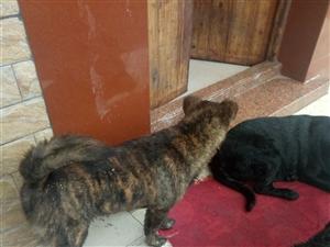 虎斑狗出售