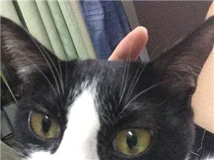 一只黑白猫在澳门赌场大全大宫殿丢了!!!!拜托了