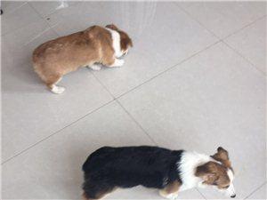 自家养纯种英国柯基犬4个月大