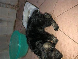建水雪纳瑞2个月母狗一只出售